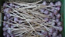 česnek na stonku Vekan 2013